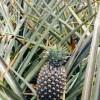 apts las vegas: pineapple