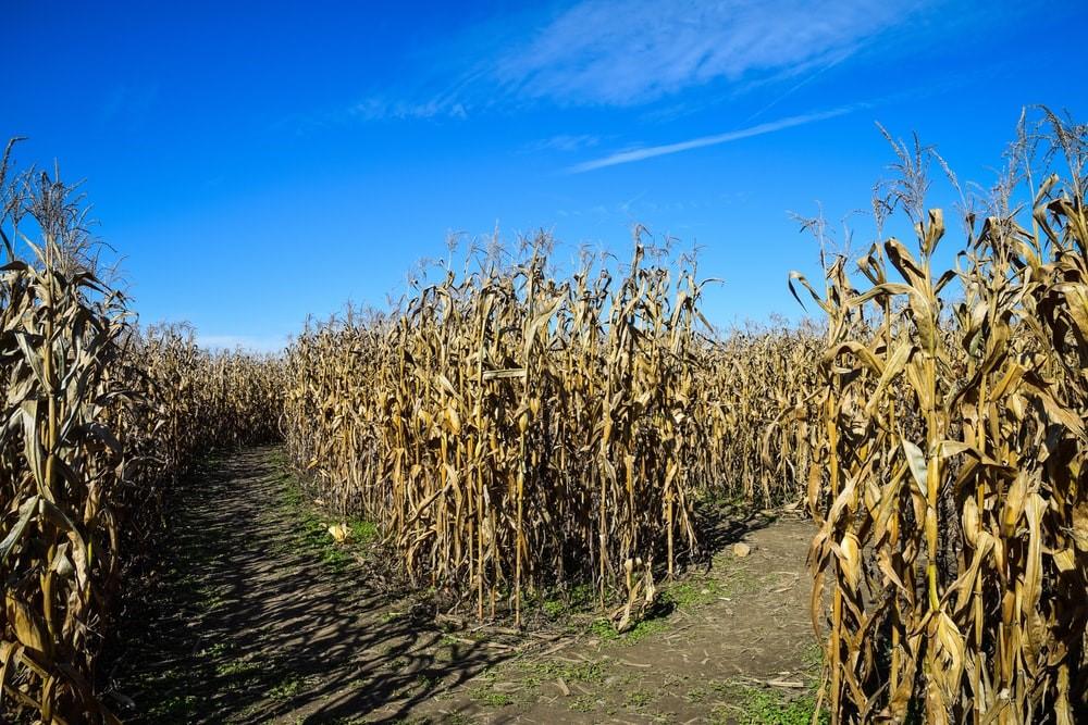 dried corn plant